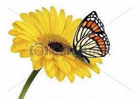 Ringblomst med sommerfugl